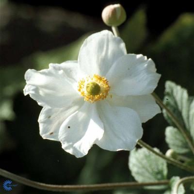 hvid høstanemone