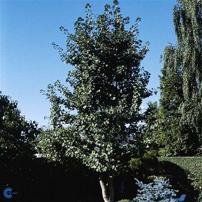 tempeltræ